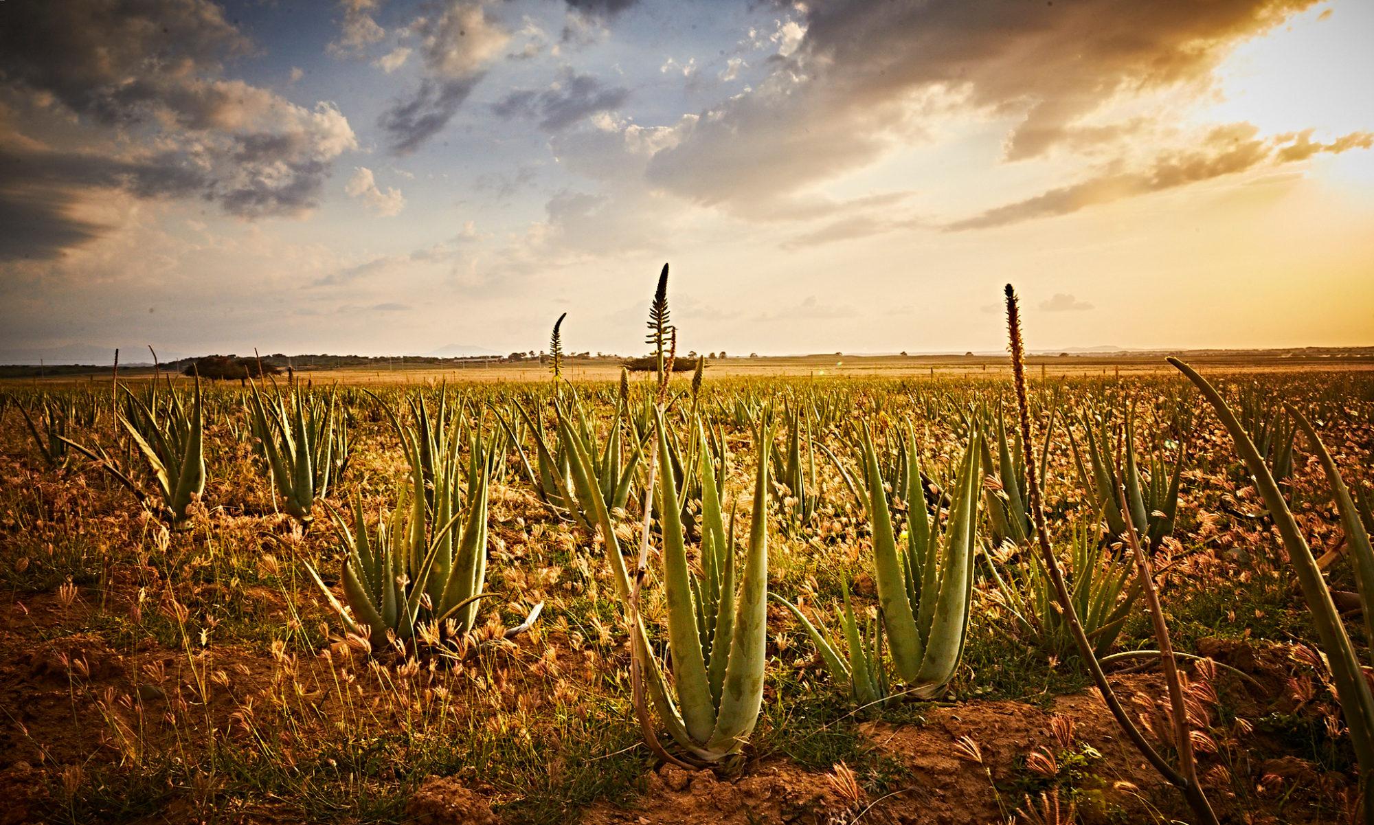 Best Aloe Vera by Forever Living